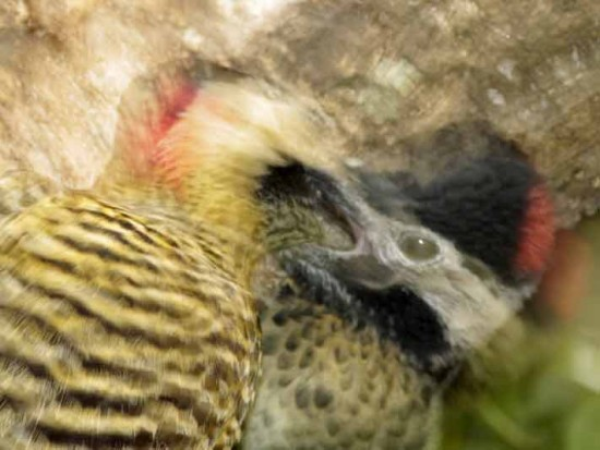 Carpintero realR/Green-barred WoodpeckerB