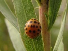 Mariquita/Hadda beetle