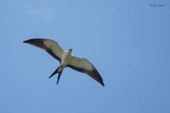 Milano tijereta/Swallow-tailed Kite