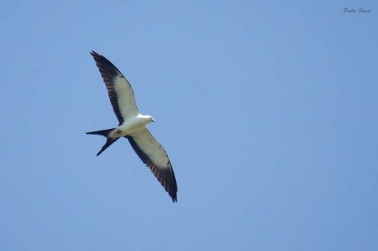 Milanto tijereta/Swallowed-tailed Kite