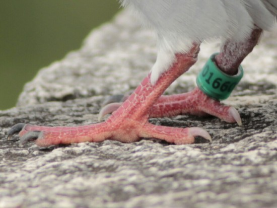 Paloma mensajera/Homing Pigeon