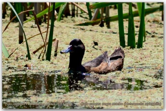 Pato cabeza negraM/Black-headed DuckM