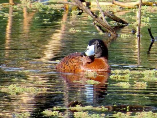 Pato fierro M/Masked Duck M