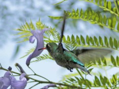 Picaflor común H/Glittering-bellied emerald F