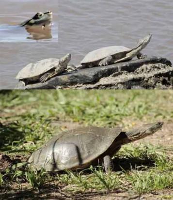 Tortuga de laguna/Side necked Turtle