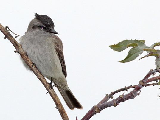 Tuquito gris/Crowned Slaty-Flycatcher