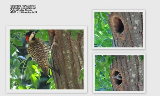 Carpintero real/Green-backed Woodpecker