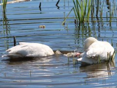 Coscoroba/Coscorba Swan