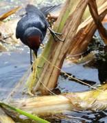 Varillero congo M/Chestnut-capped Blackbird M