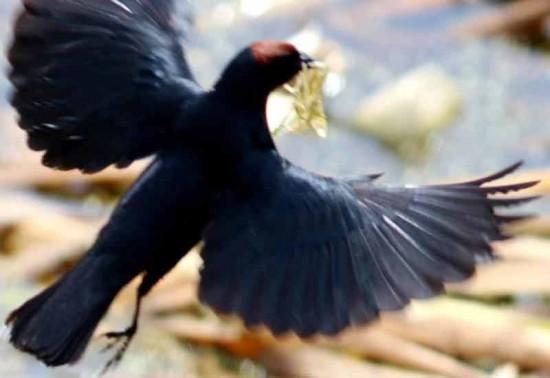 Varillero congo N/Chestnut-capped Blackbird M