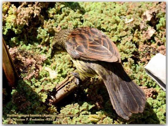 Varillero negro H/Unicoloured Blackbird F