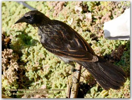 Varillero negro JM/Unicoloured Balckbird JM