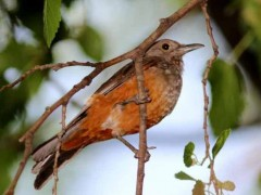 Zorzal colorado J/Rufous-bellied Thrush J