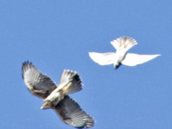 Halcón peregrino HJ/Peregrine Falcon JF