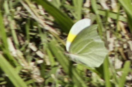 Mancha de azufre/White-angled Sulphur