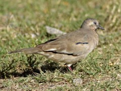 Torcacita común/Picui Ground-Dove