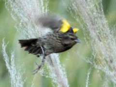 Varillero ala amarilla H/ Yellow-winged Blackbird F