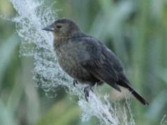 Varillero congo H/Chestnut-capped Blackbird F