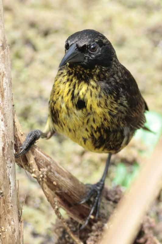 Varillero negro JM/Unicoloured Blackbird JM