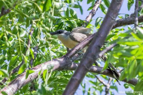 Cuclillo canela/Dark-billed Cuckoo