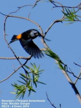 Naranjero M/Blue-and-yellow Tanager M