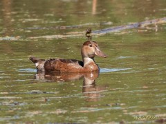 Pato picazo J/Rose-billed Pochard J