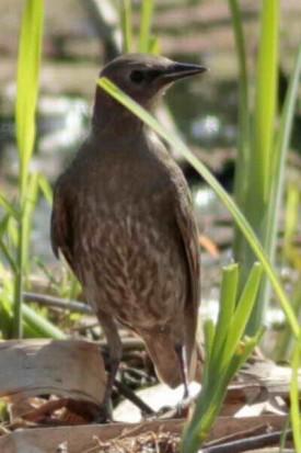 Estornino pinto J/European Starling J
