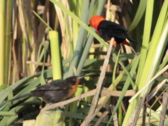 Federal/Scarlet-headed Blackbird
