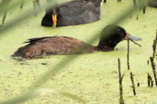Pato cabeza negra M/Black-headed Duck M