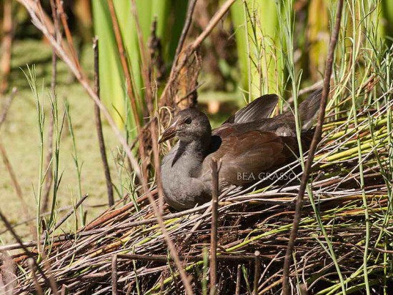 Pollona negra J/Common Gallinule J