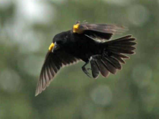 Varillero ala amarilla M/Yellow-winged Blackbird M