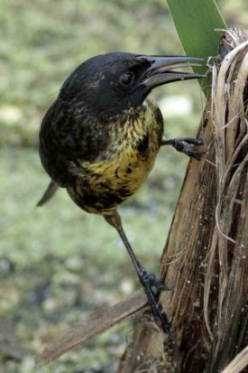 Varillero negro JM/ Unicolored Blackbird JM