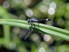 Libélula/Drangonfly