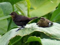 Varillero congo R/Chestnut-capped Blackbird B