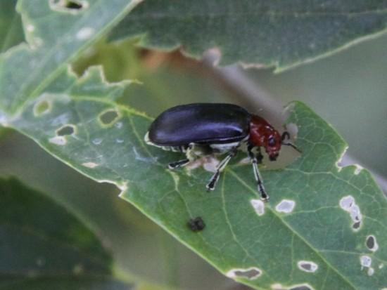 Cacoscelis melanoptera