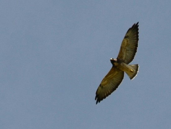 Aguilucho alas largas J/White-tailed Hawk J