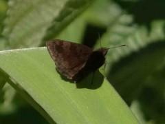 Barrada lilácea/Small Skipper