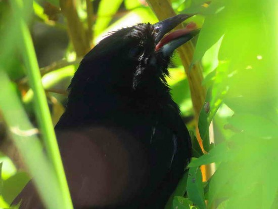 Frutero negro M/White-lined Tanager M