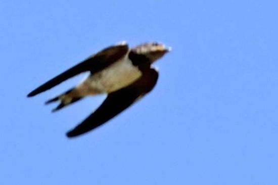 Golondrina tijerita/Bran Swallow