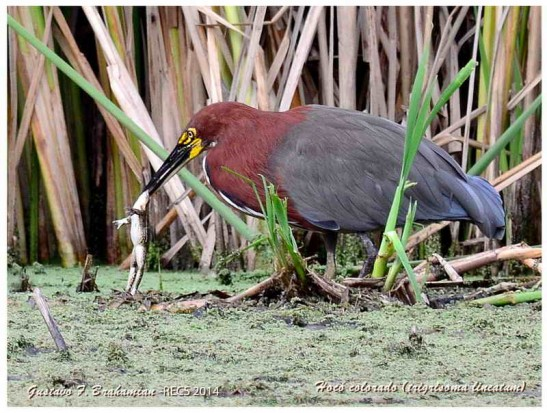 Hocó colorado/Rufescent-Tiger-Heron