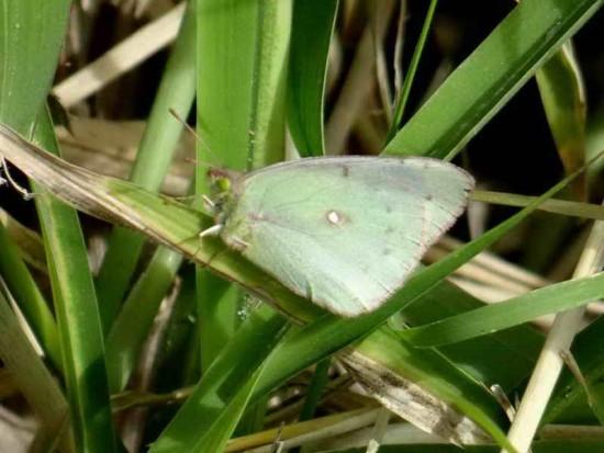 Isoca de la alfalfa/Lesbia Sulfur
