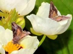 Lagarta del girasol/Rachiplusia