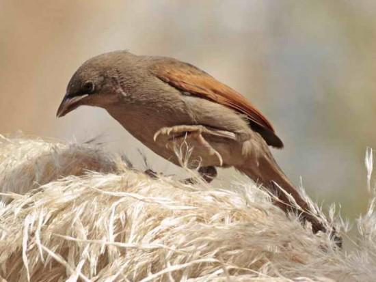 Tordo músico/Bay-winged Cowbird