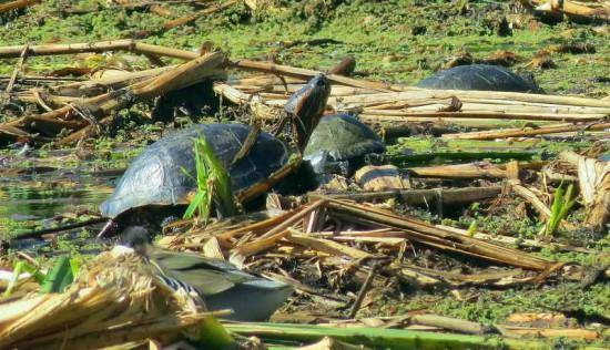 Tortuga de orejas rojas/Red-eared Turtle
