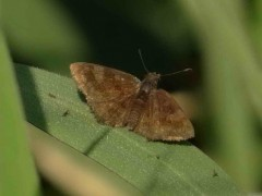 Barrada lilácea/Small Skipper