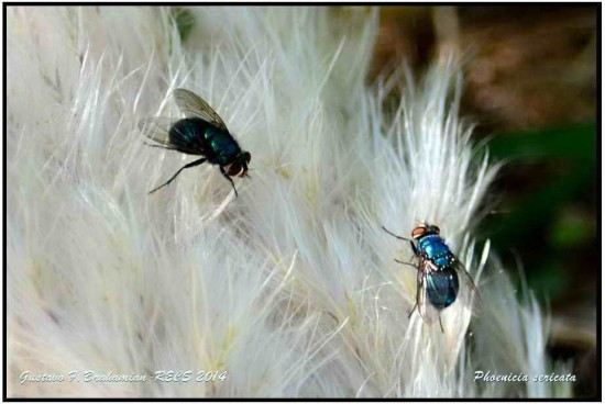 Phoenicia sericata