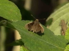 Medialuna común/Eufala skipper