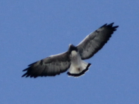 Aguilucho alas largas/White-tailed Hawk