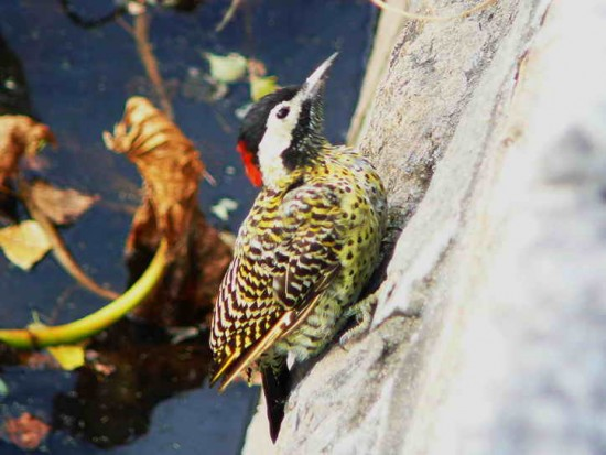 Carpintero real/Green-barred Woodpecker
