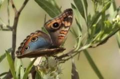 Cuatro ojos común/Southern Buckeye